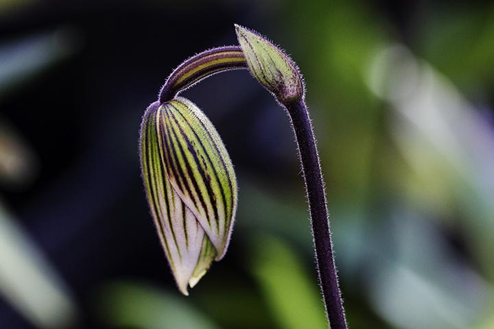 Paphiopedilum Bud